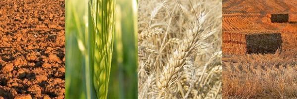 Des pousses de blé